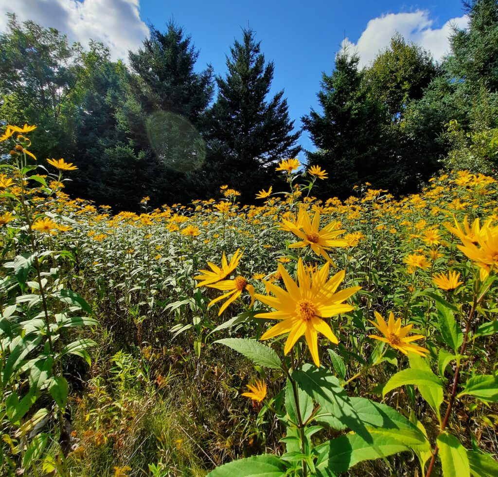 Field of sunflowers, trees in background, blue skies above